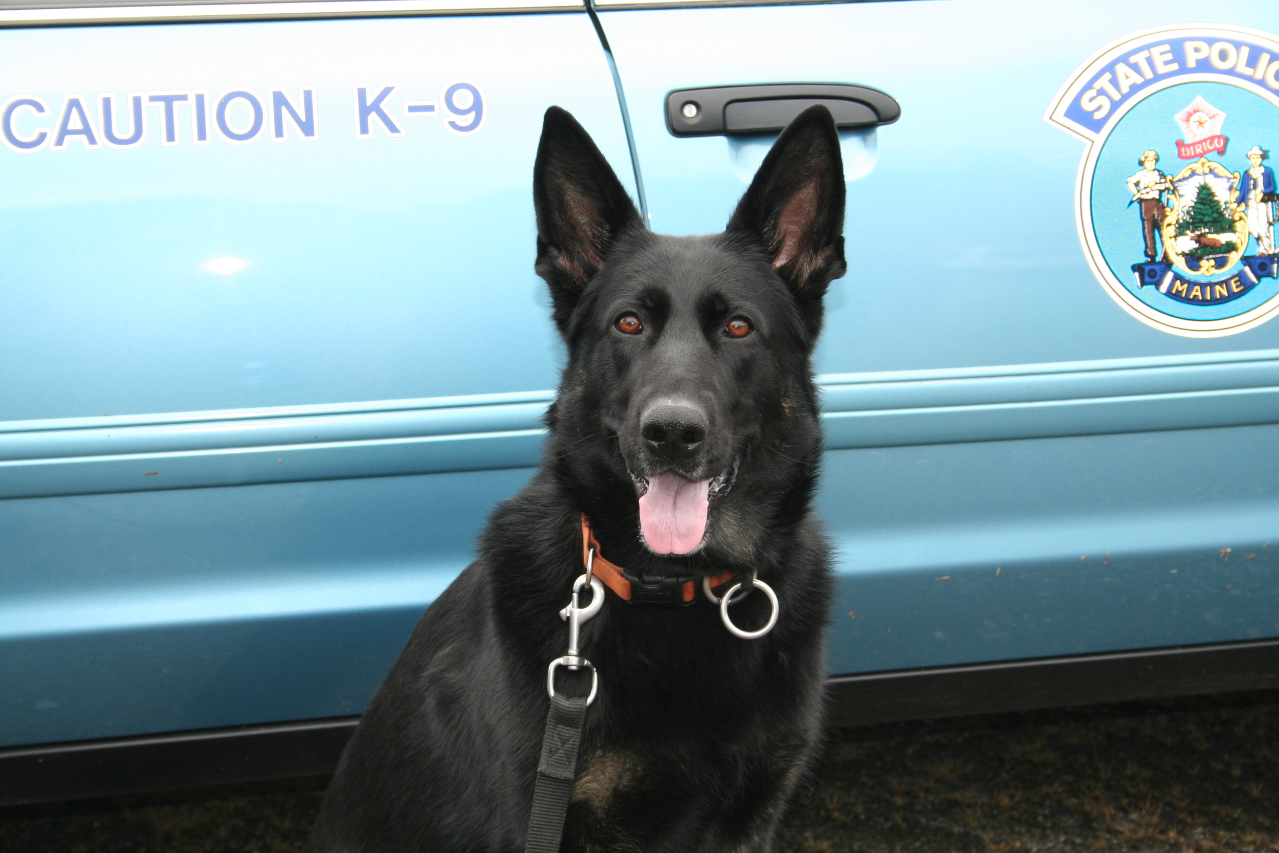Freyja was sold to the Maine State Police and is a certified Patrol K9.  She is doing very well with her handler.  She is an exceptional female.