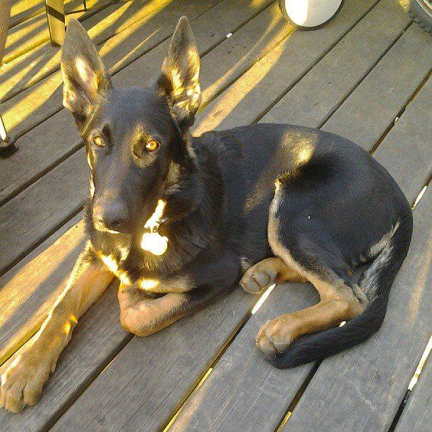 Loki-20 weeks.jpg