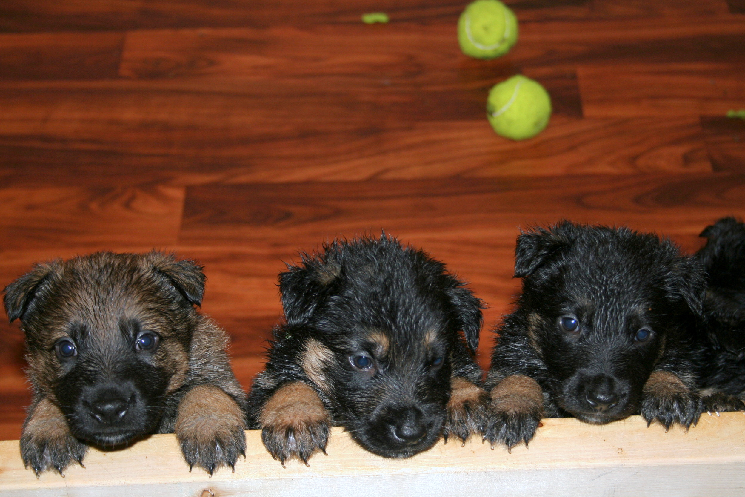 G-Litter Puppies from Drago and Jetta.