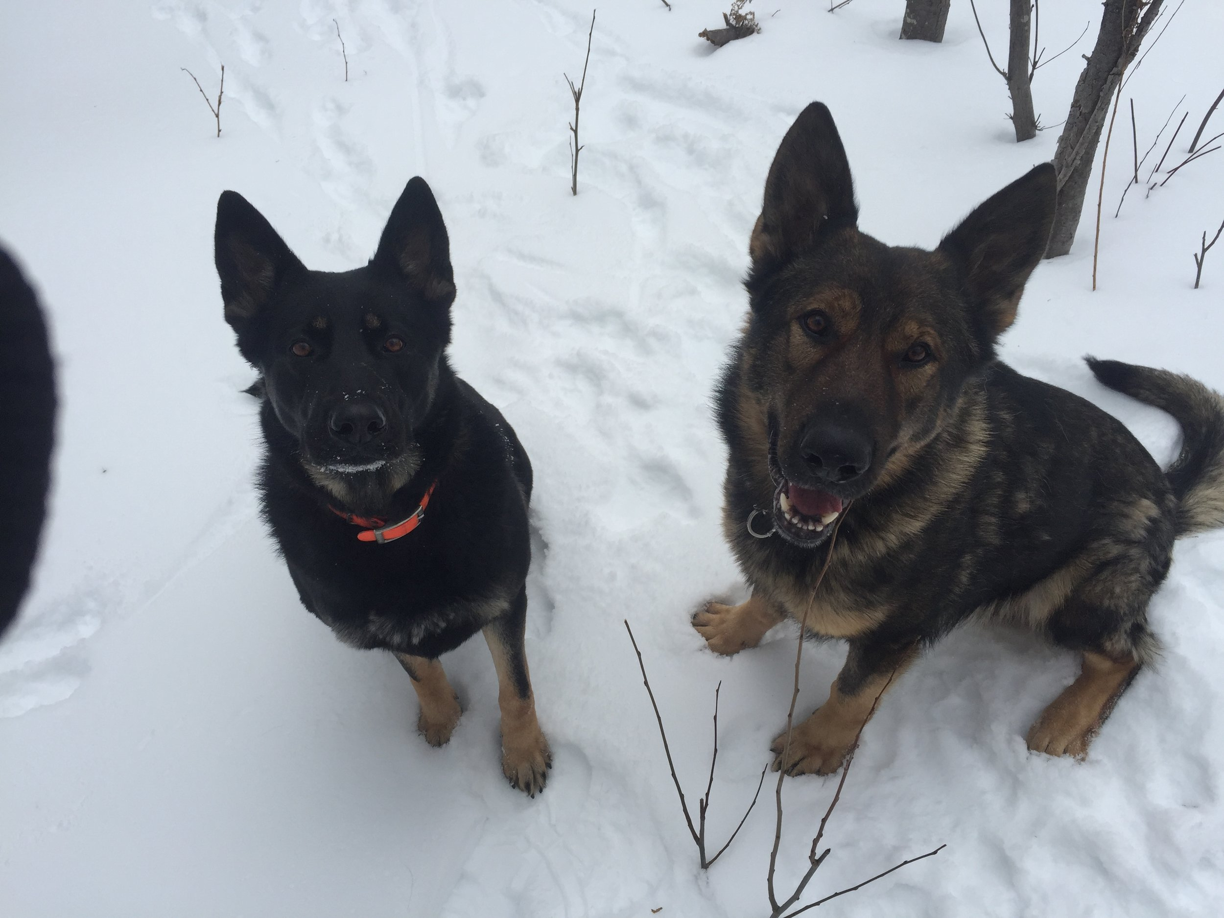 Freyja and Thor. Parents of N-Litter.