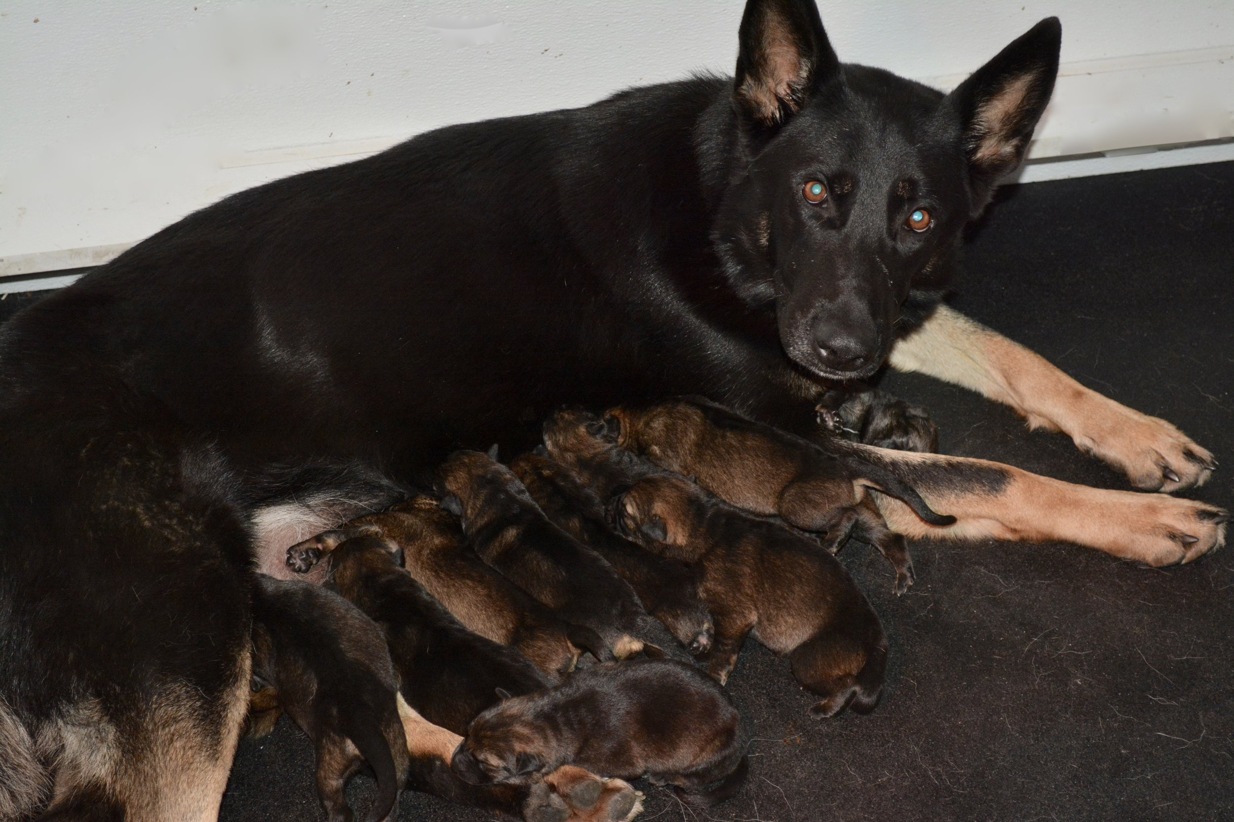 N-Litter Puppies at 2 days old. Born November 17, 2017. 5 Males & 6 Females
