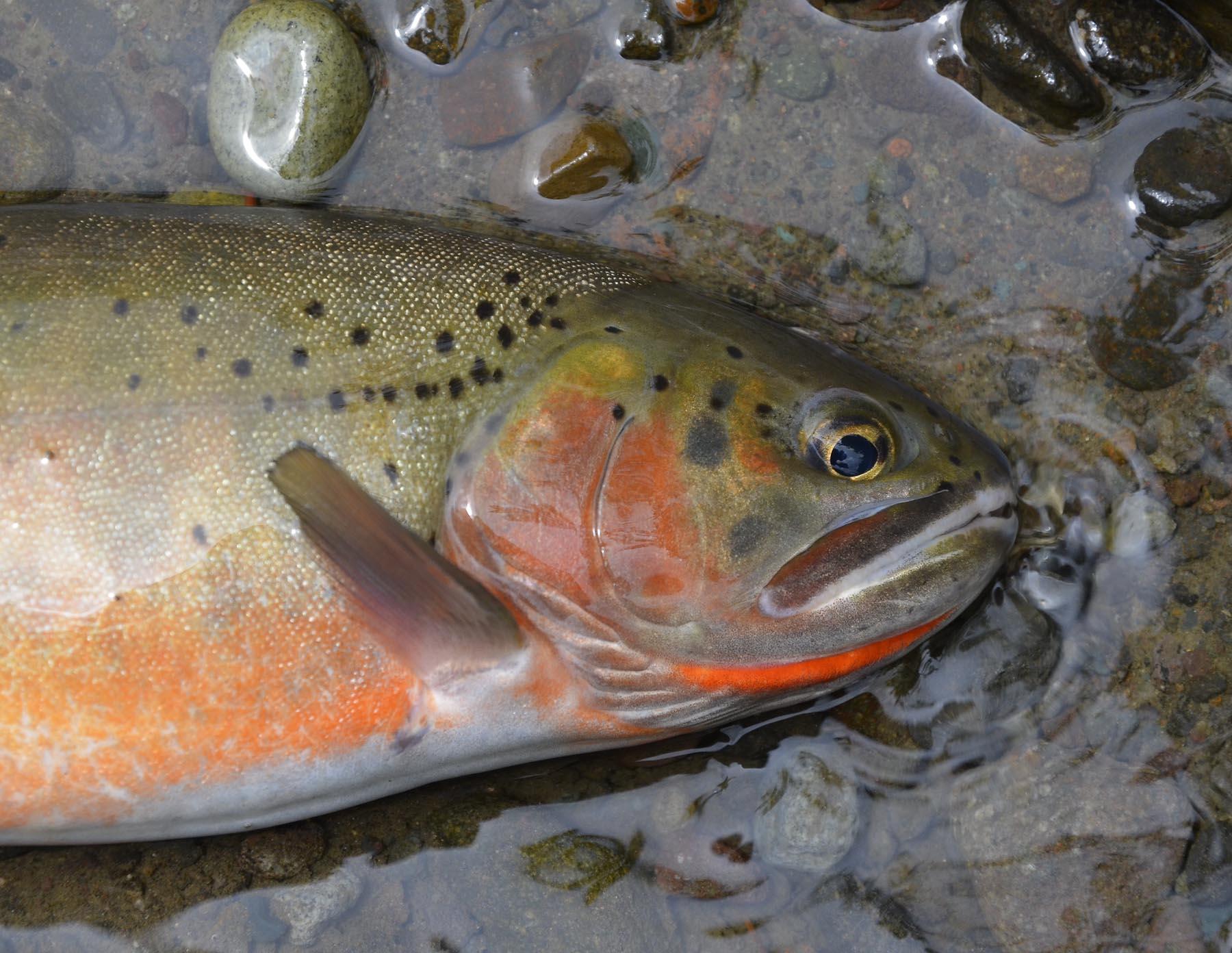 Rio Grande Cutthroat TU 122712.jpg