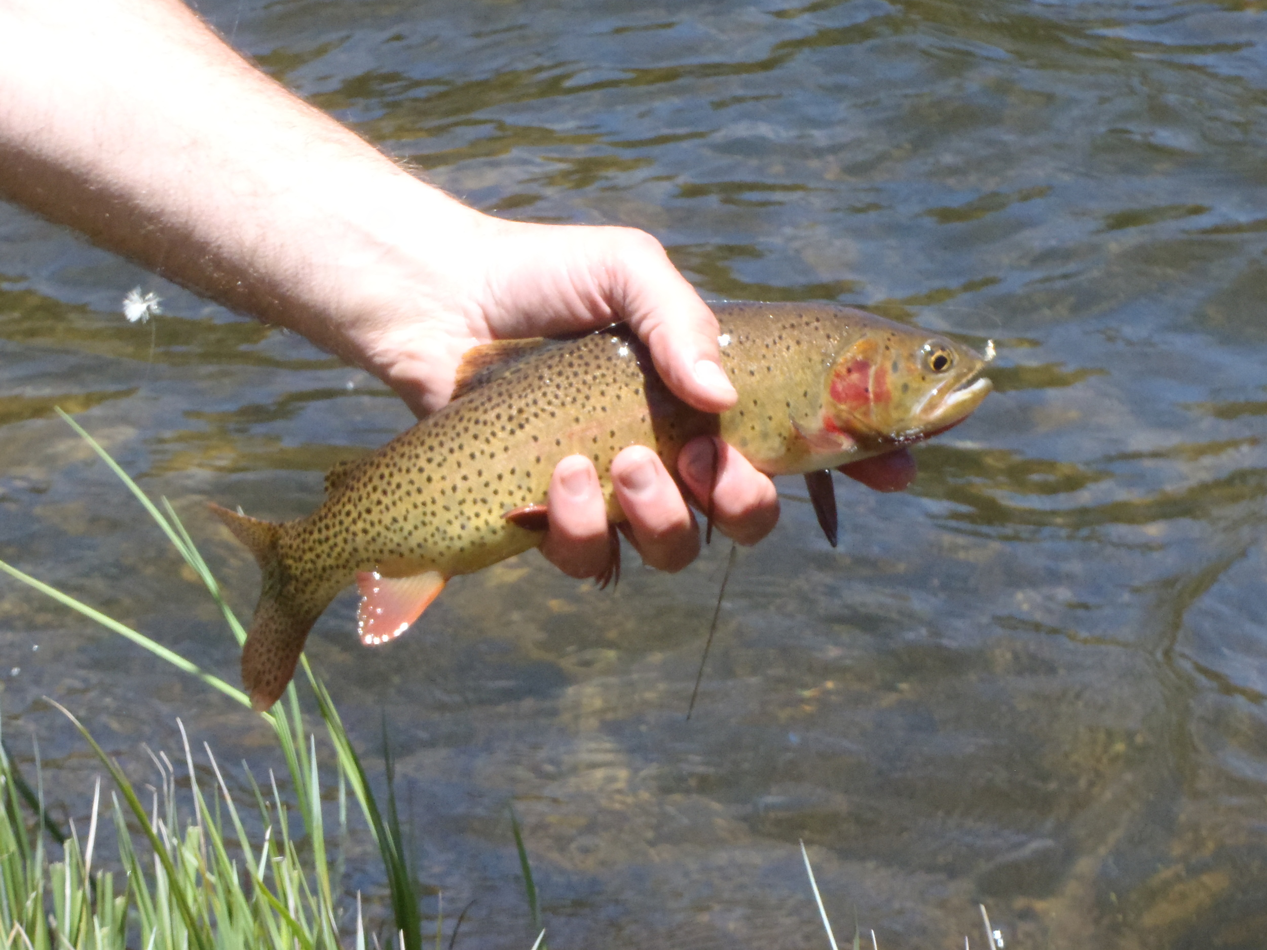 Snake River Cutt