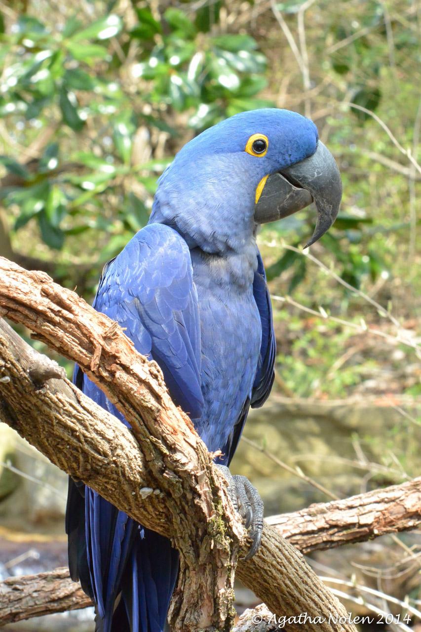 Hyacinth Macaw- Nashville Zoo- March 2014