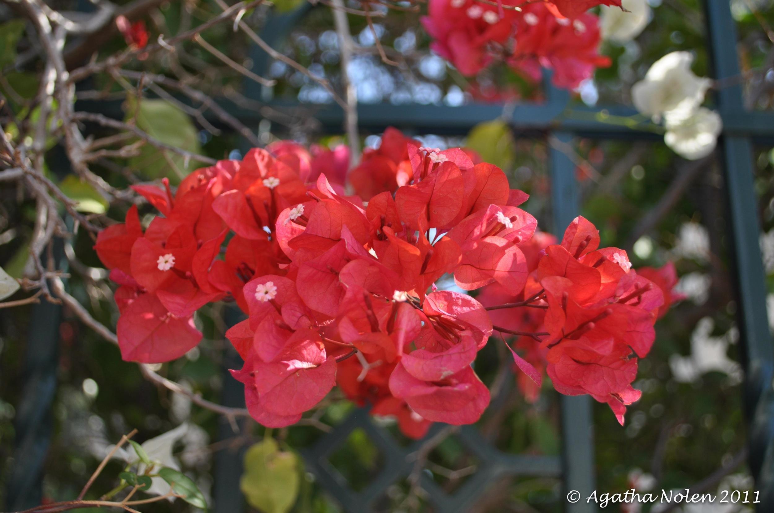 Flower, Mount of Beatitudes, Israel, 2011