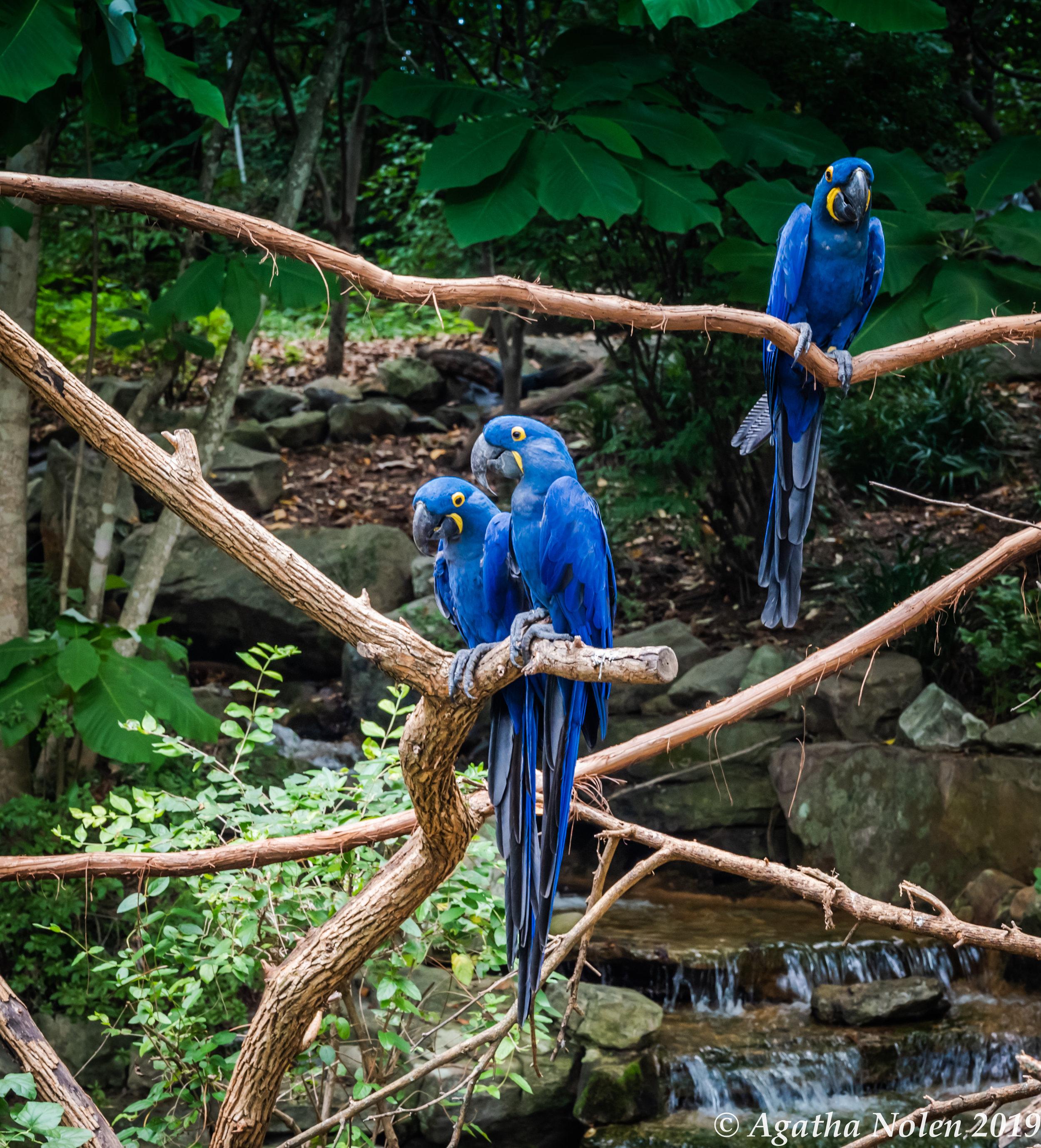 Nashville Zoo Blue Bird Sept 1 2019.jpg