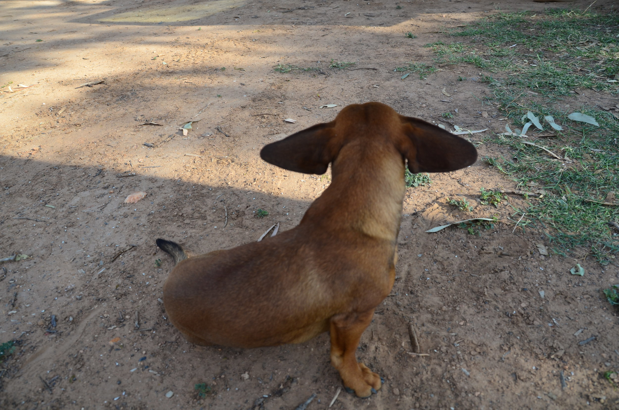 Dog Cooling Ears!