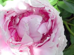 index.jpgpeony.jpg