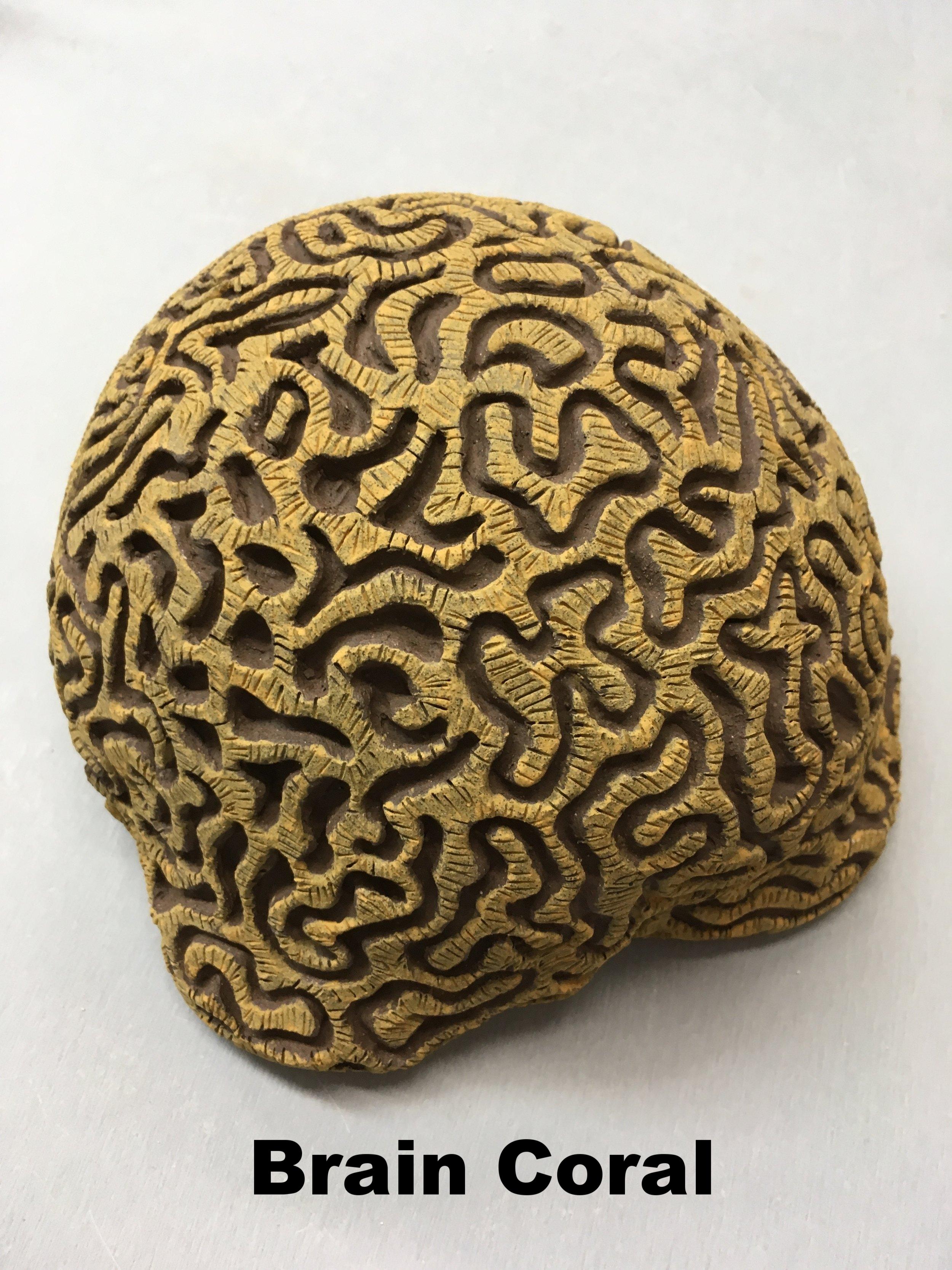 BrainCoral2.jpg