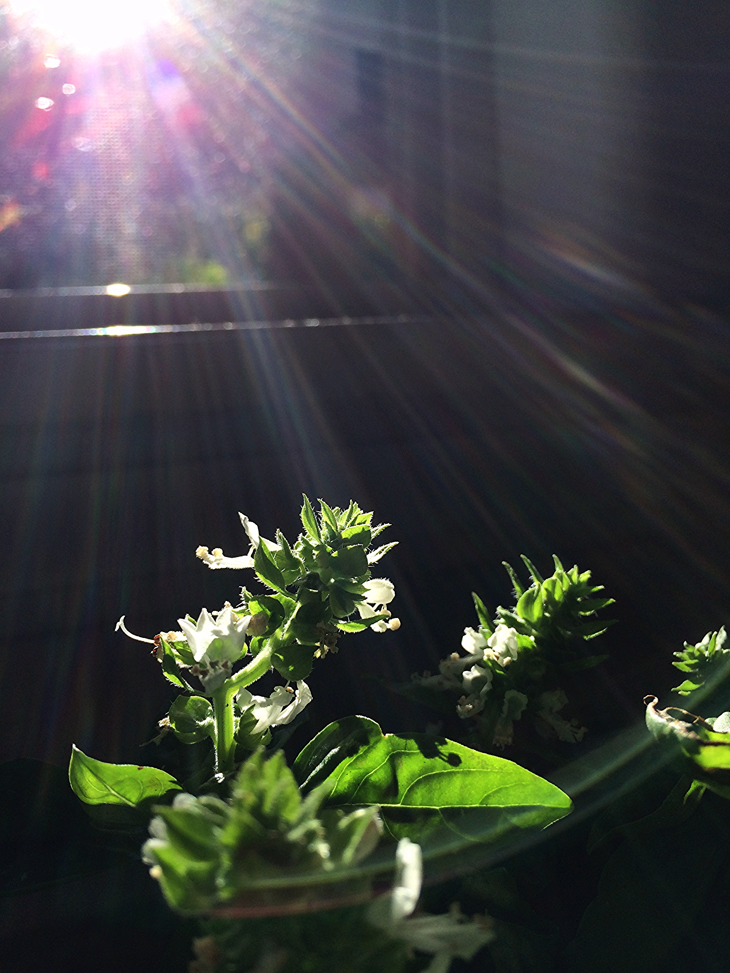 A bunch of basil in a cup of water, begins to flower at the kitchen sink.