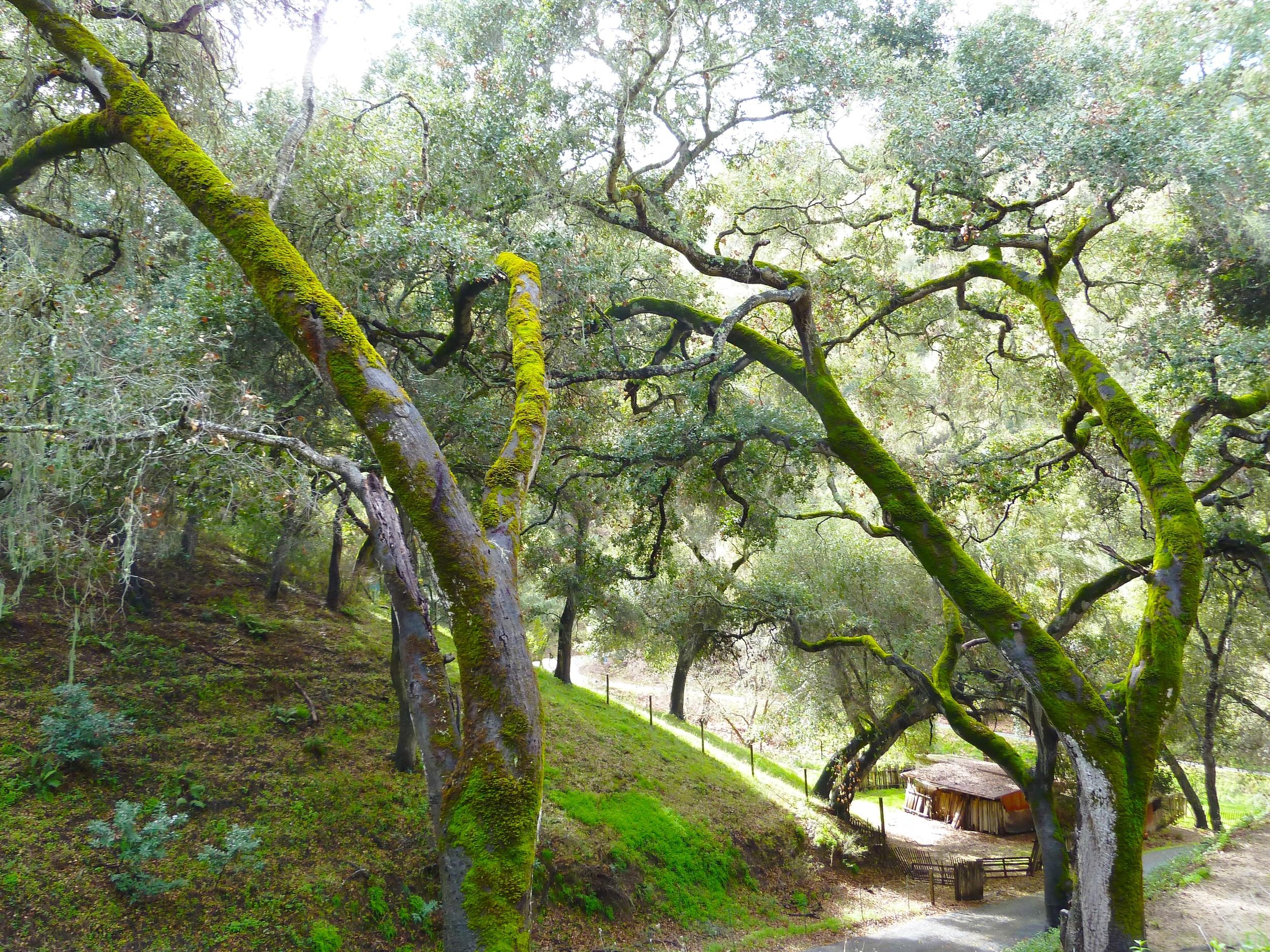 Moss_trees.jpg