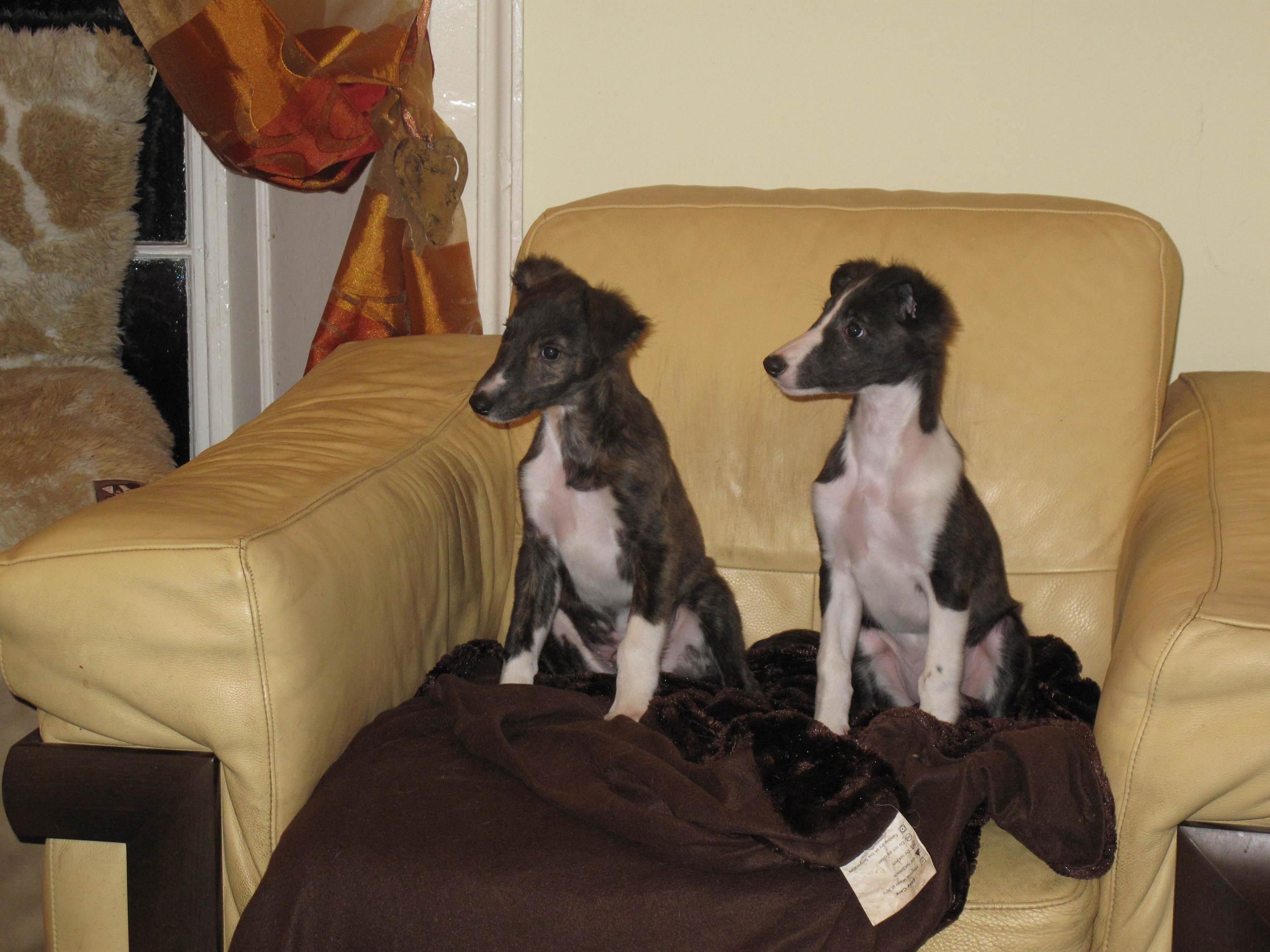 puppies 9 weeks 008.JPG
