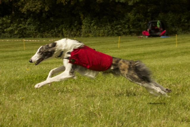 Beaux - Fastest Dog Straight Flat Racing (Photo courtesy of Middleton Photography)