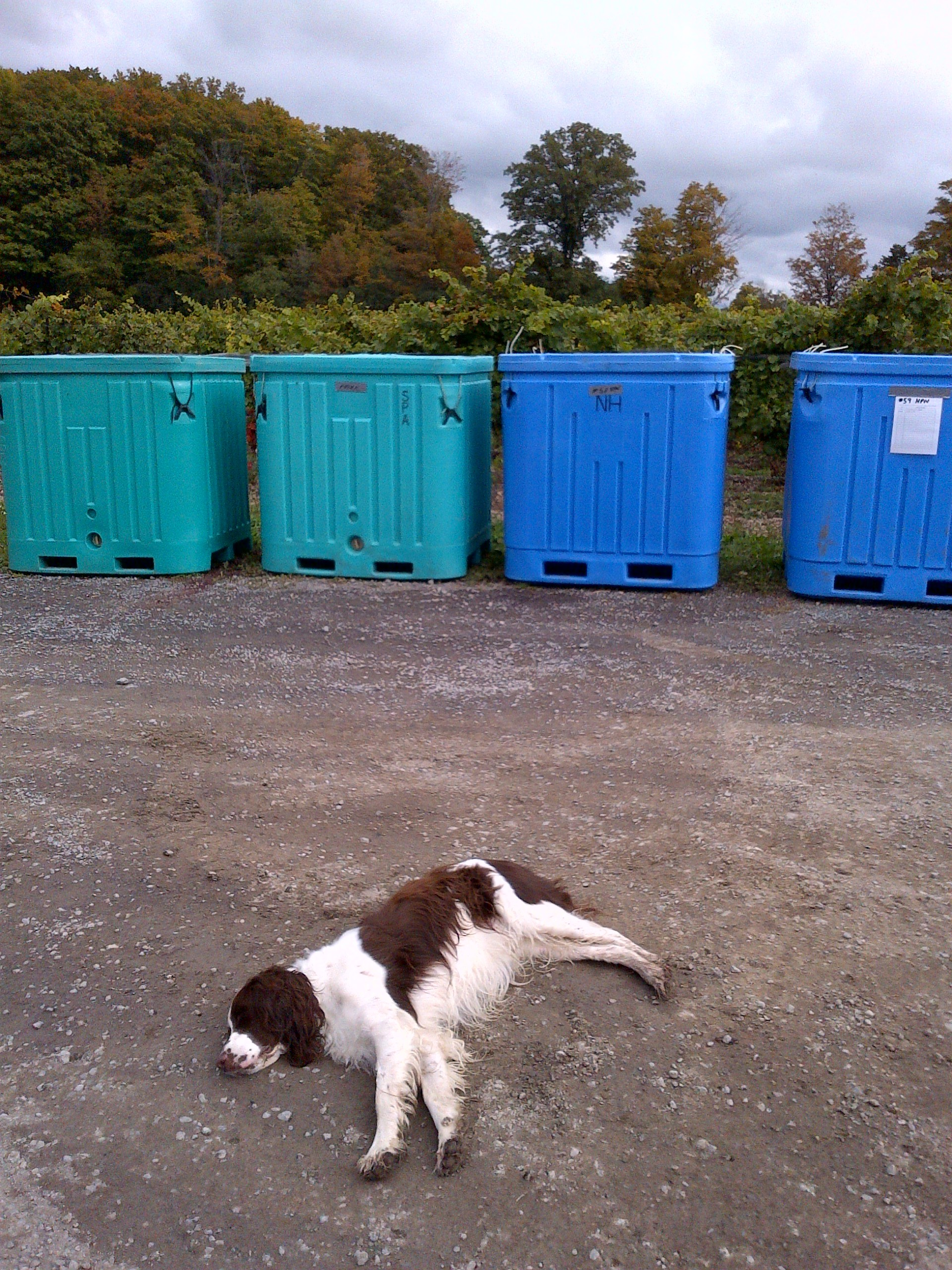 Spaniels hate waiting for rosé to be pressed.