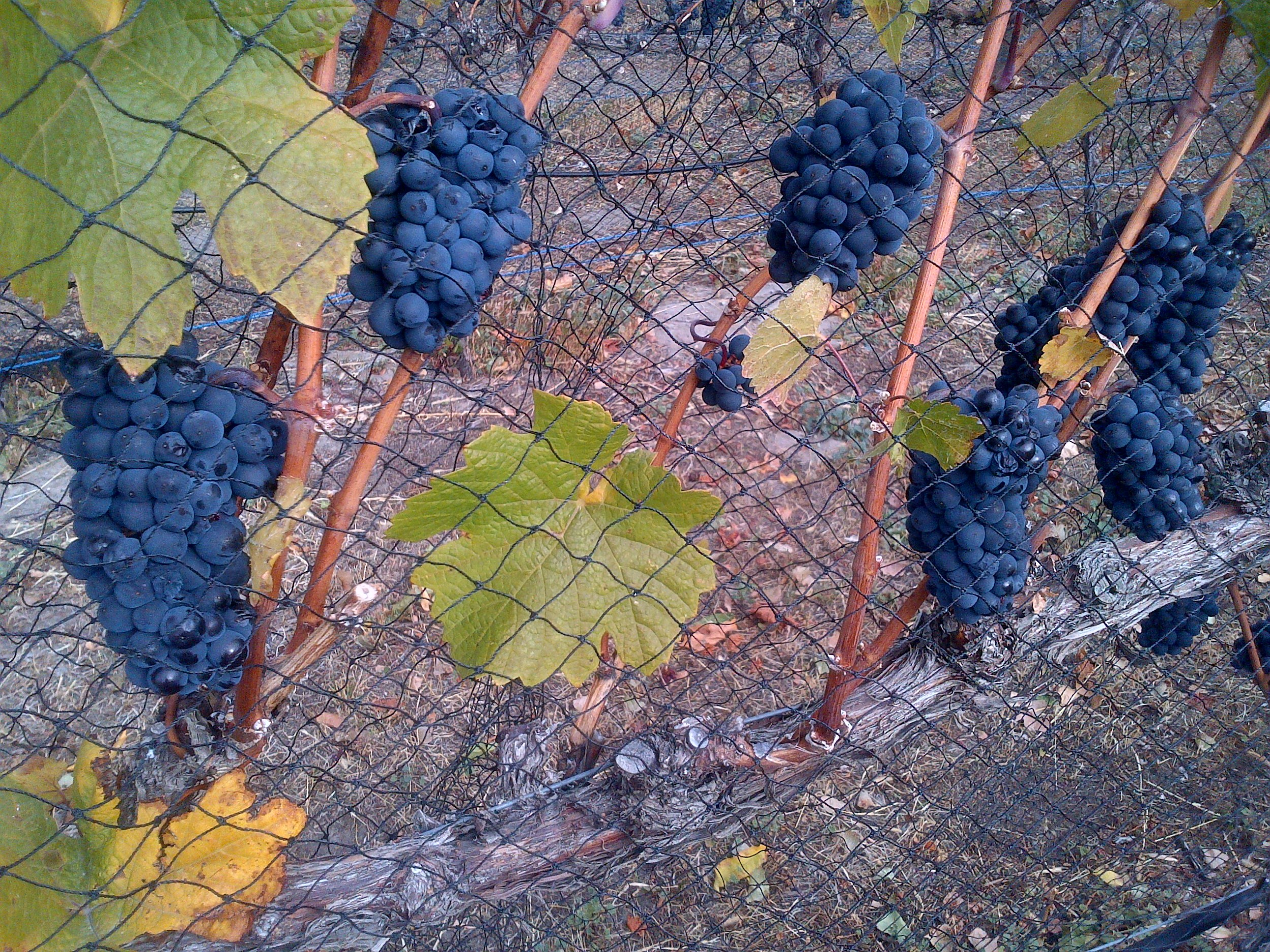 Beautiful Pinot Noir about ready for harvesting