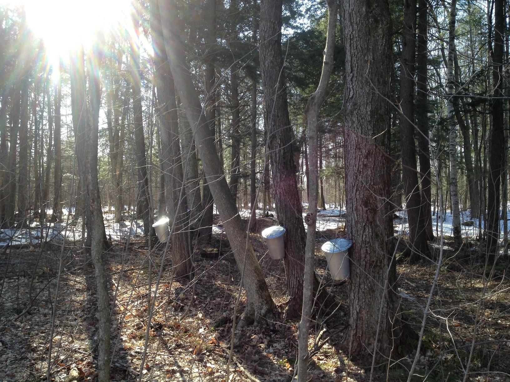 Mariposa Farm Maple trees