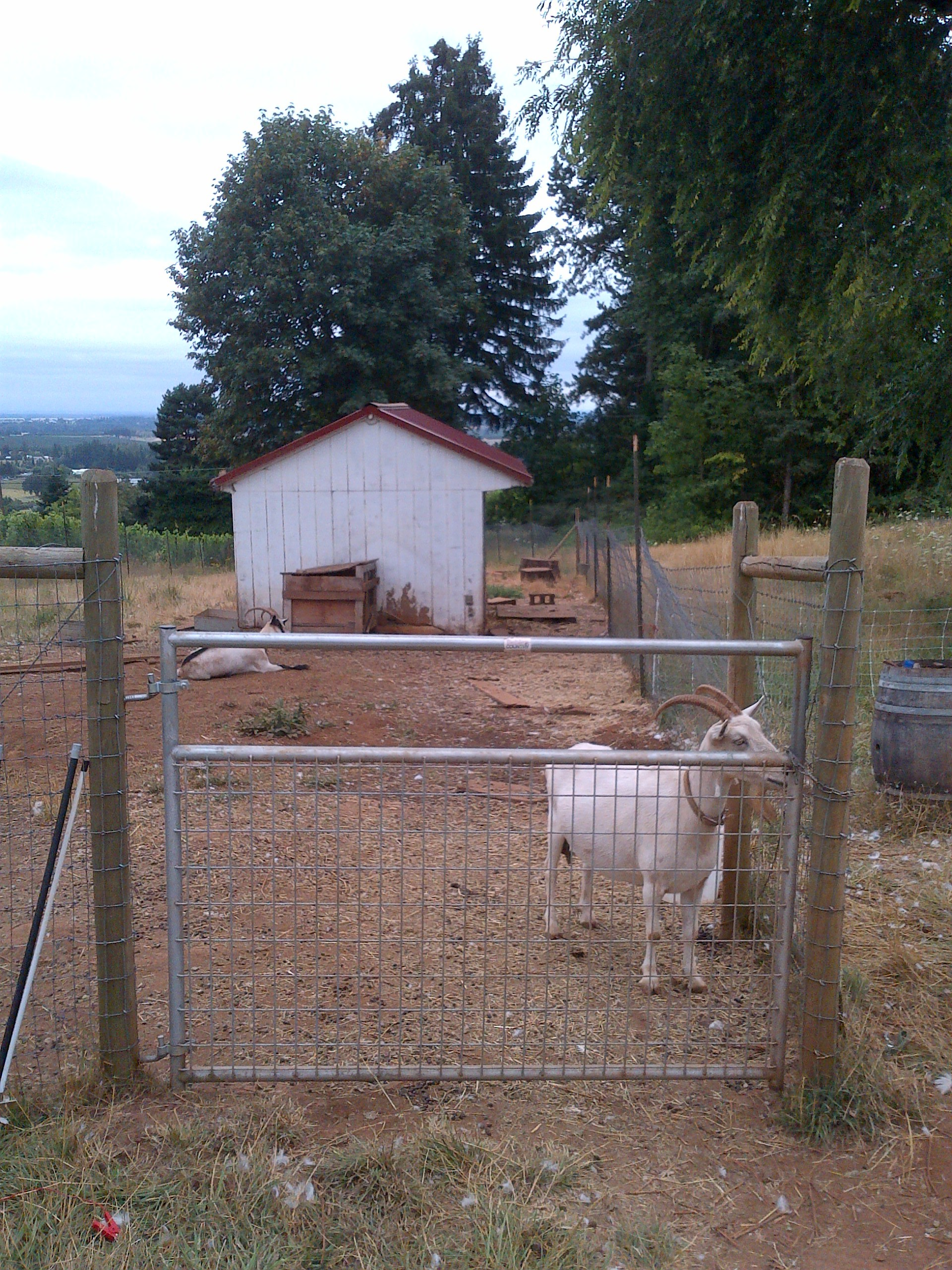 Cameron winery goats...