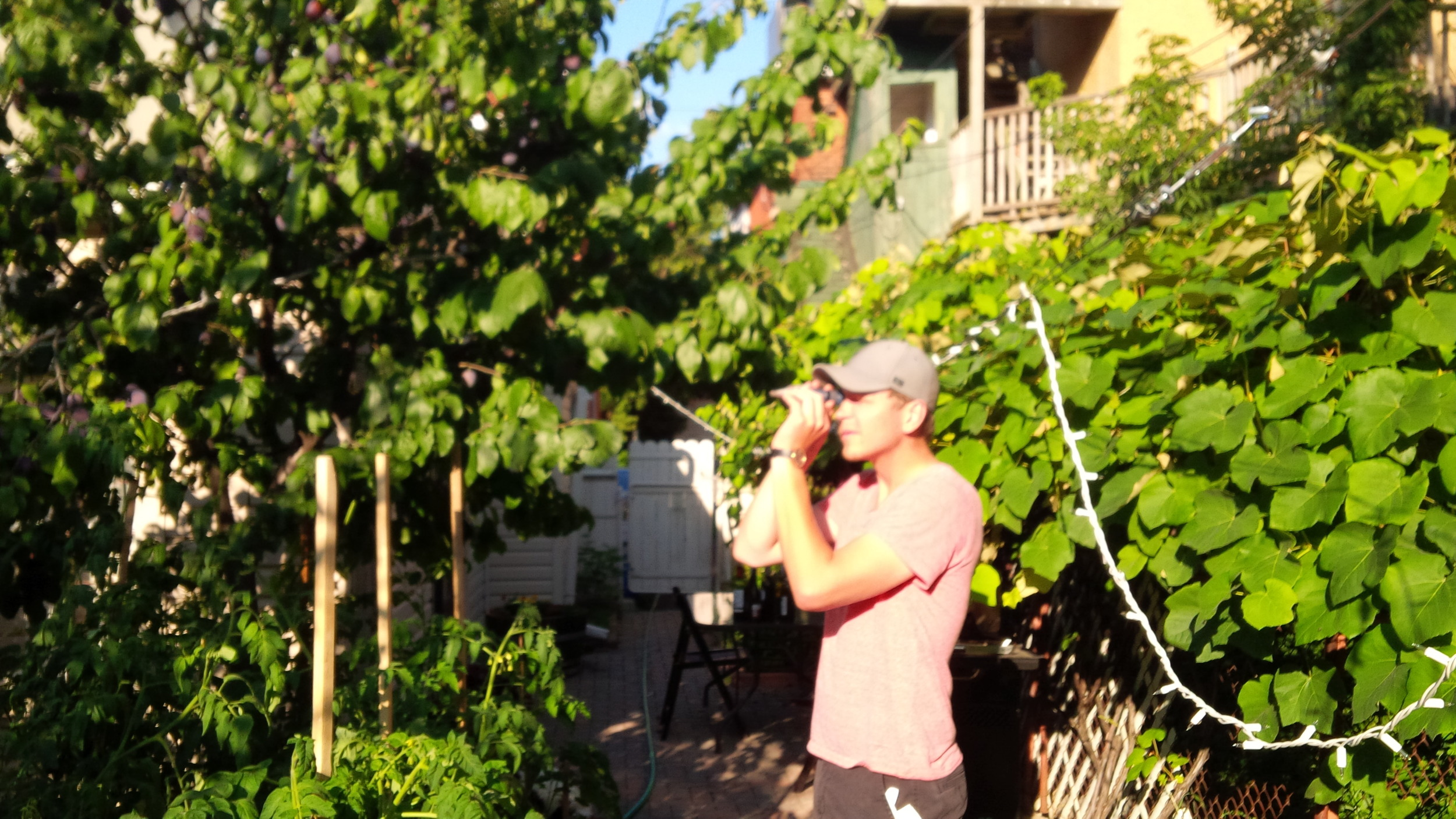 Checking the degrees brix with a refractometer. Row of estate grapes in background.