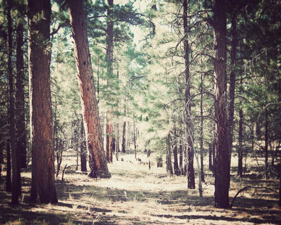 A forest of Ponderosa Pines