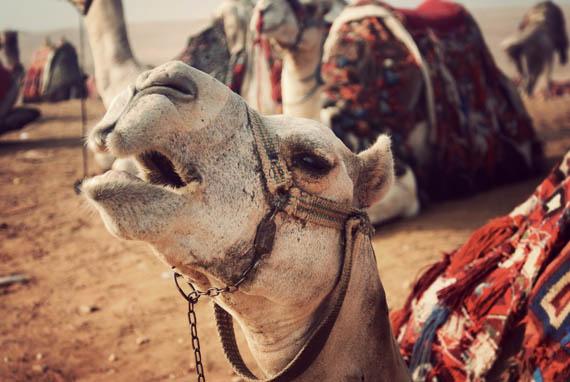 A temperamental camel