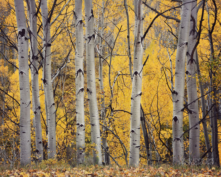 Colorado's golden Aspens