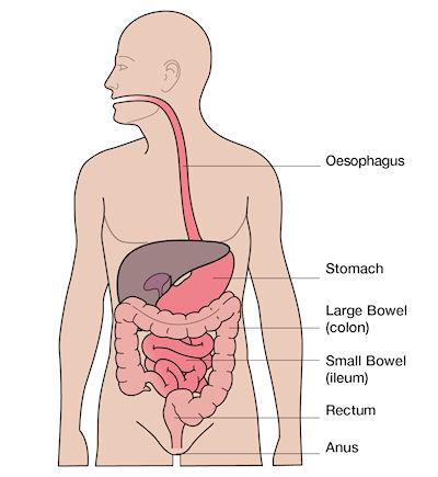 Digestive_system_400x435.jpeg