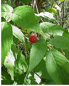 wild_red_raspberry.jpeg