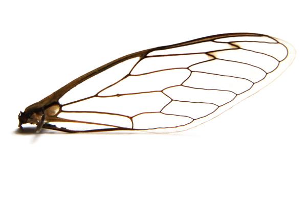cicada wing copyshop.jpg
