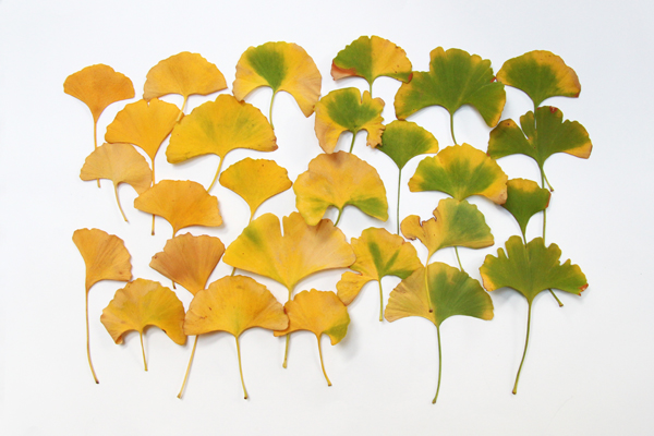 ginko leaves copyshop.jpg