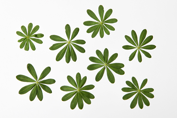 lupine leaves 1 copyshop.jpg