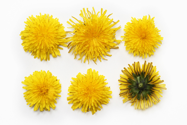 may dandelions copyshop.jpg