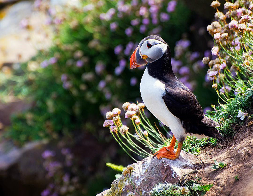 Puffin nests at the Saltee Islands