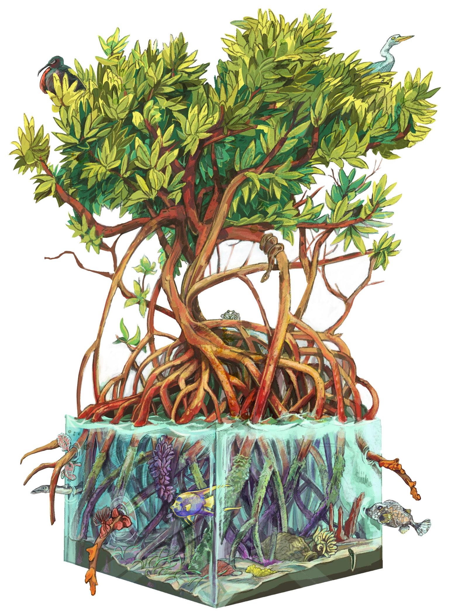 """Mangrove Cross-section"""