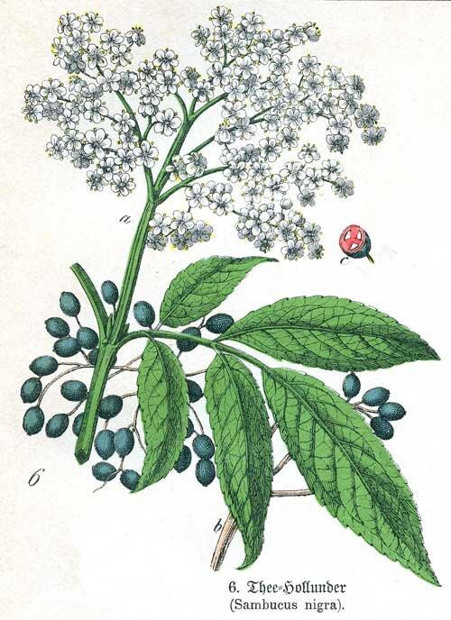 https://www.rjwhelan.co.nz/herbs%20A-Z/elder.html