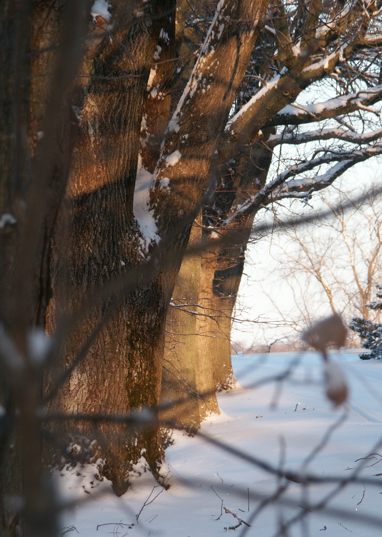 Winter Lane Tree, March 2003