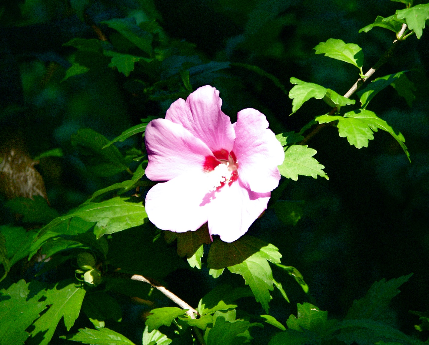 American Hibiscus, August 2003