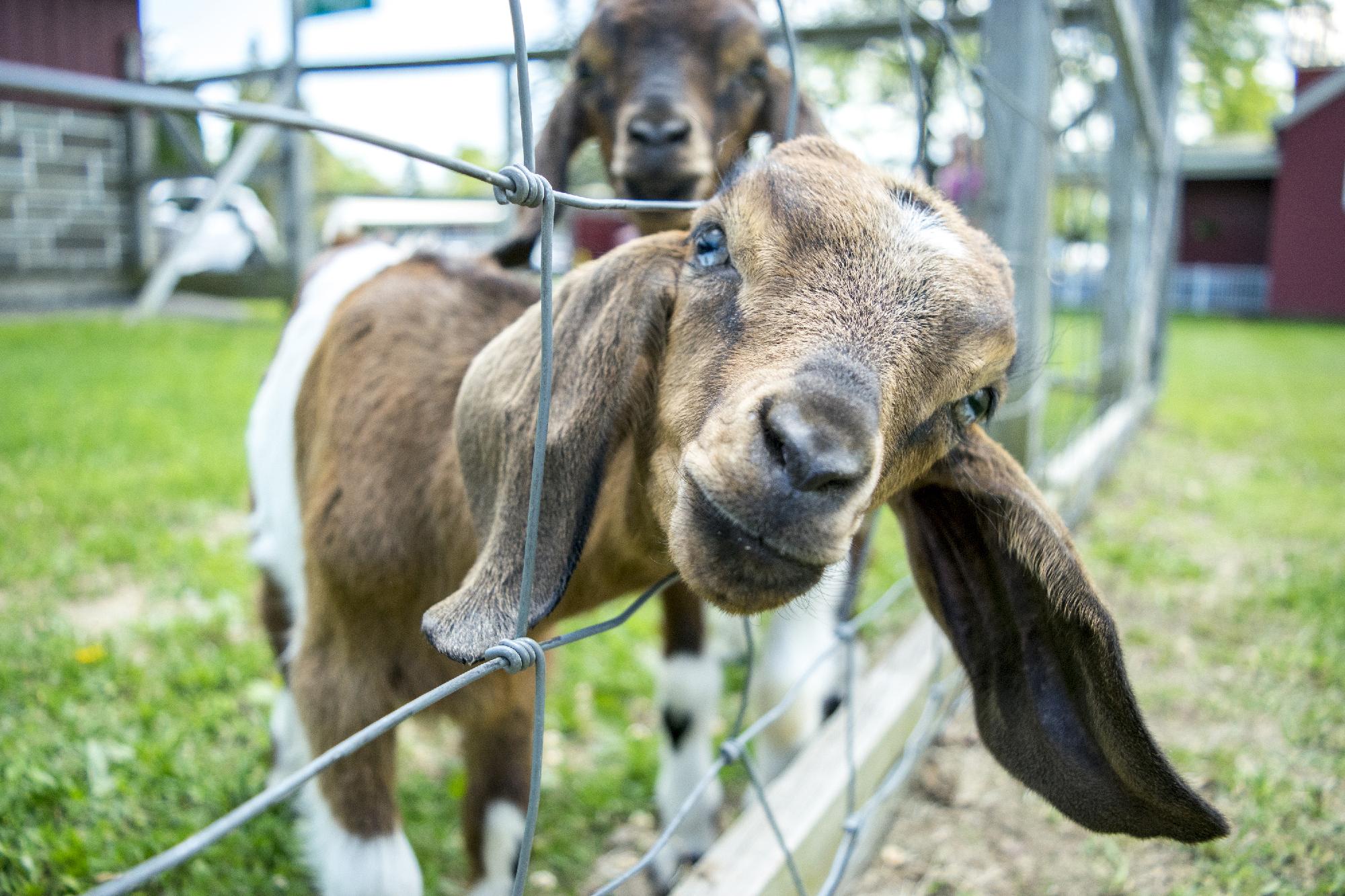 snapndesign-sunny-hill-goats.jpg