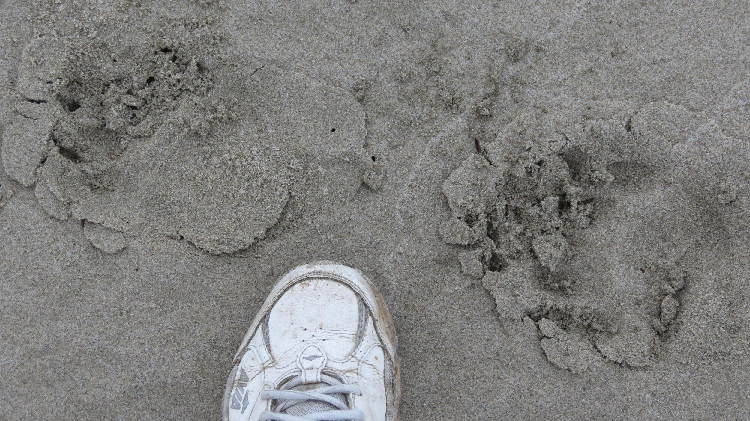Bear Tracks on Tillicum Beach