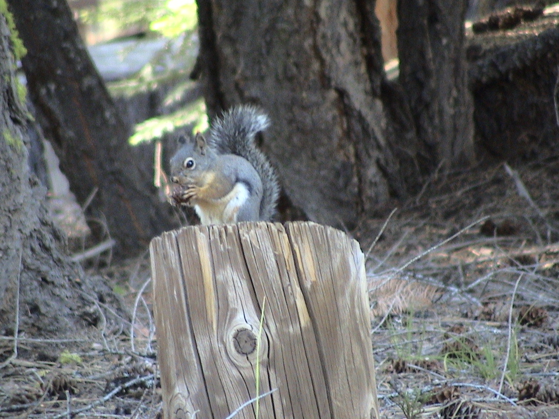 Pine Squirrel