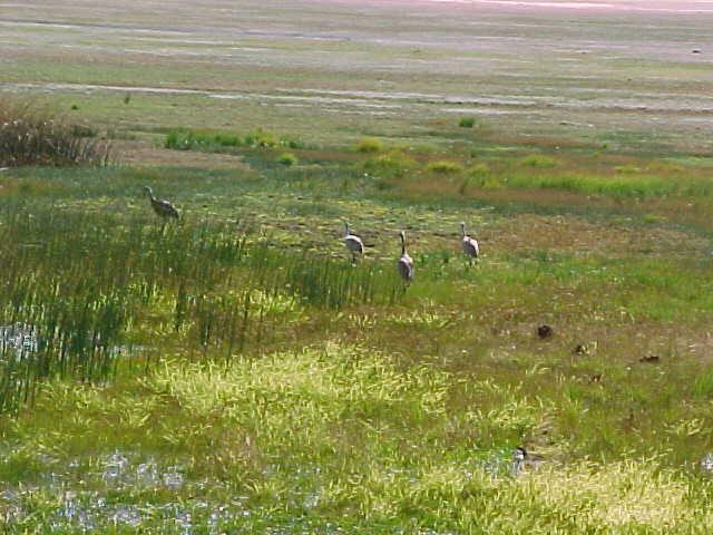 Cranes in Meadow