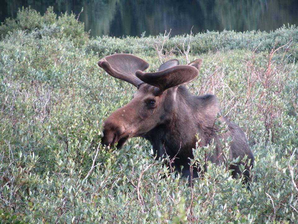 Bull Moose in Willow Bog