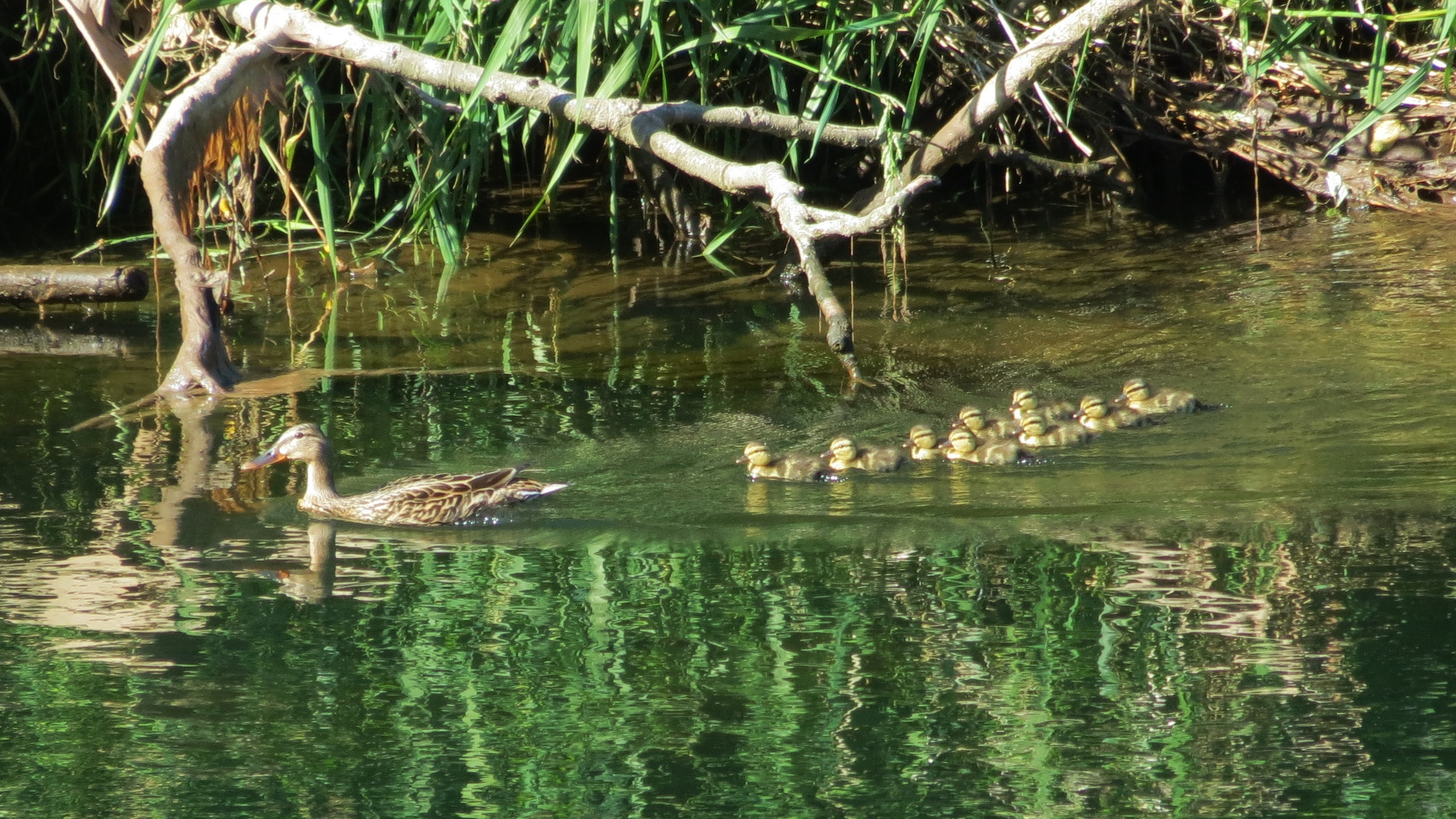 Mallard mom with ducklings (Butt Lake, near Ponderosa Campground, No California)