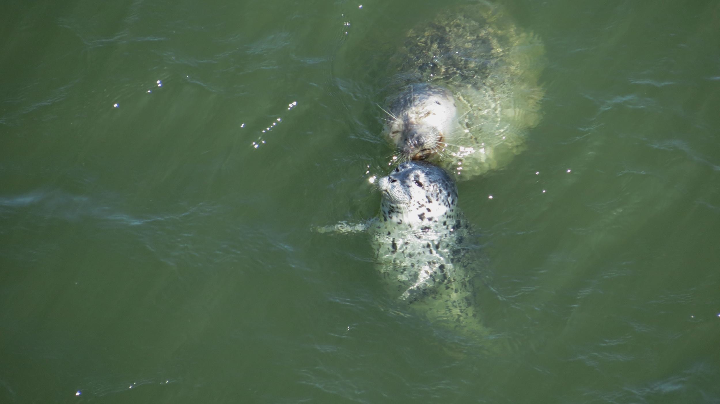 Harbor Seals (Alsea Bay, Waldport, Oregon Coast