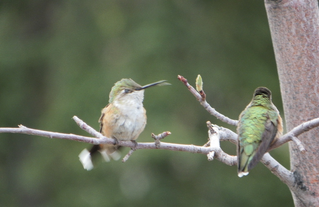 Hummingbirds (Lodgepole Campground, near Strawberry Reservoir, Utah)