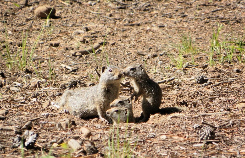 Uinta Ground Squirrels (Lodgepole Campground, near Strawberry Reservoir,Utah)