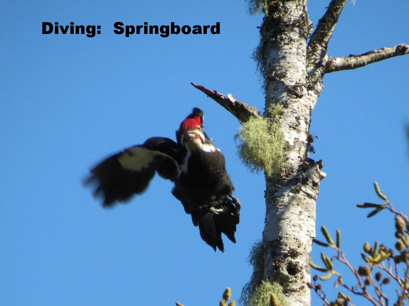 PileatedWoodpecker-Flying.JPG