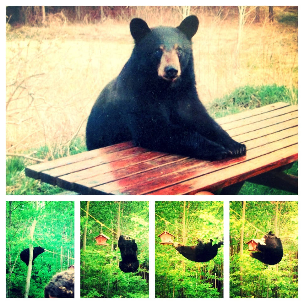Black bear in George Washington-Jefferson National Forest, Bolar Mountain Recreation Area, Virginia