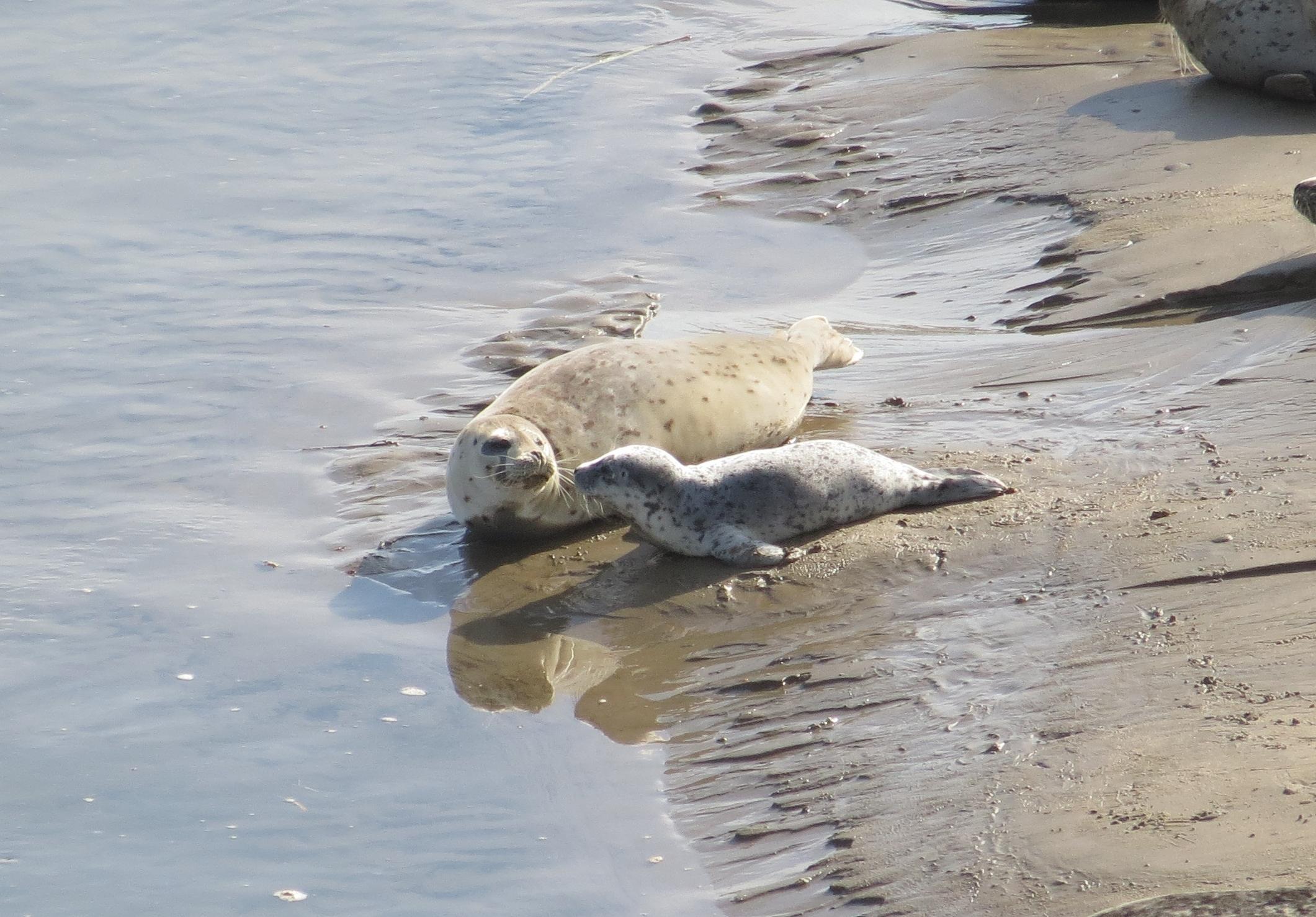 Harbor Seals, Alsea Bay, Central Coast Ranger District