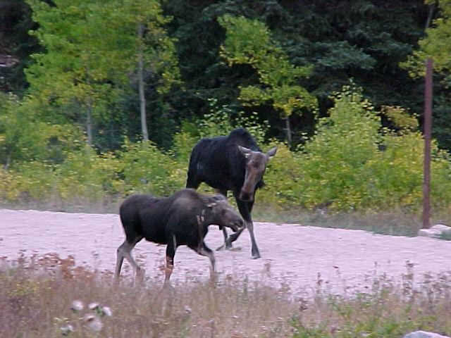 Moose cow and calf in Big Cottonwood Canyon, Salt Lake City Ranger District