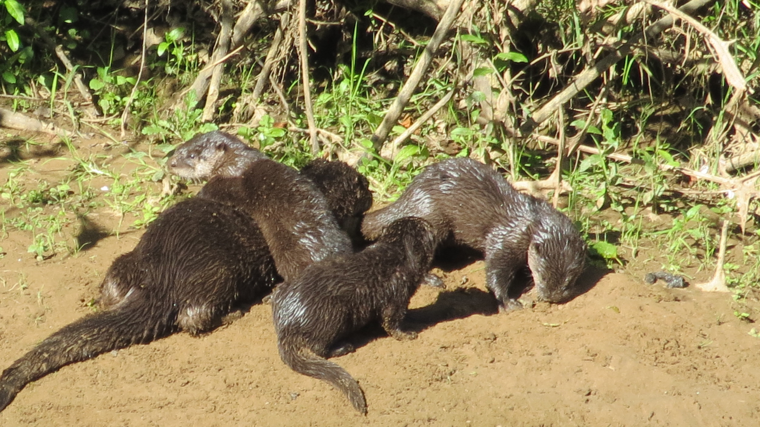 River Otter mom with pups near Blackberry Campground, Alsea River, Central Oregon Coast
